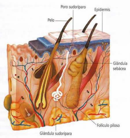 Por qué la piel forma parte del sistema excretor