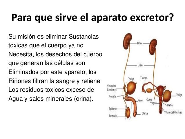 Importancia del sistema excretor - Sistema excretor