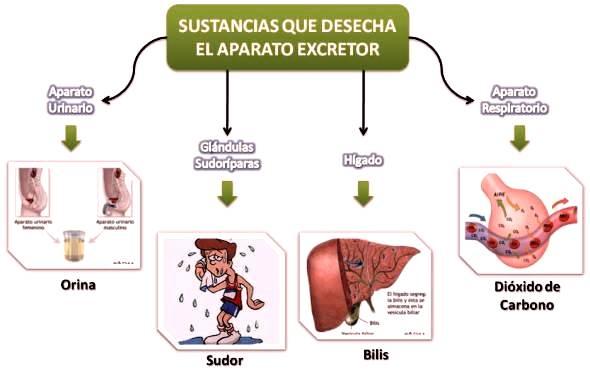 Sustancias que elimina el sistema excretor - Sistema excretor