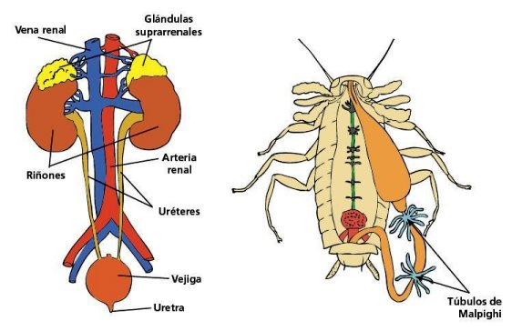 Diferencias entre el sistema excretor humano y animal - Sistema excretor