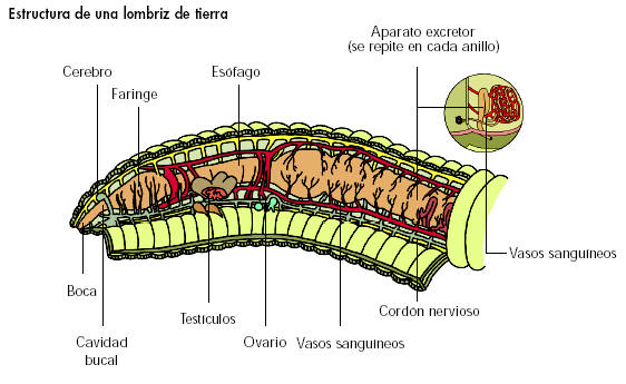 Sistema excretor de las lombrices