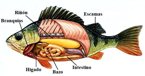 ¿Cómo es el sistema excretor de los peces?